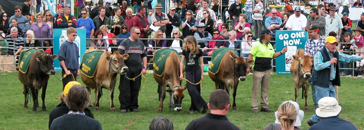 Start of the Udder Tug cows up for auction